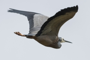 White-faced Heron - Mick Connolly