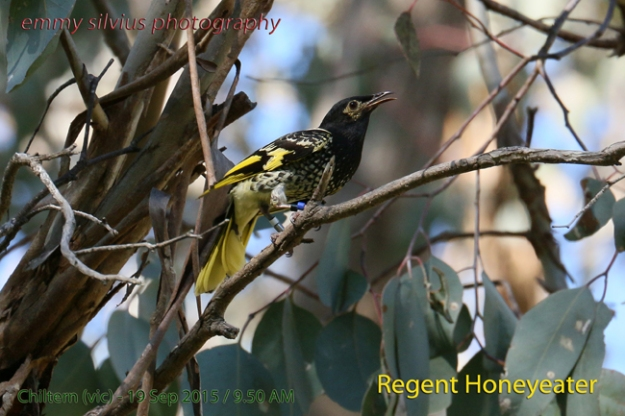 Regent Honeyeater - Emmy Silvius